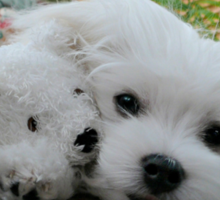 Hermes the Maltese & Titch Sticker