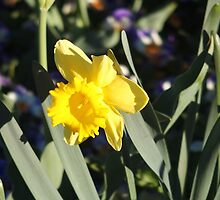 Yellow Daffodil  by ozscottgeorge