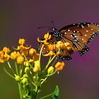 Monarch rest by Stacie Forest