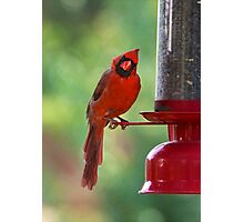 Cardinal curiosity Photographic Print