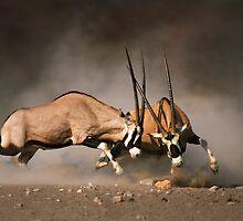 Gemsbok fight by johanswanepoel