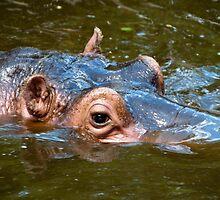 Happy Hippo Portrait by franky242