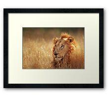 Lion in grassland Framed Print