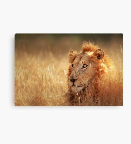 Lion in grassland Canvas Print
