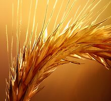 Wheat macro by johanswanepoel