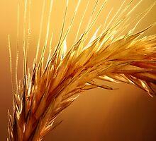 Wheat macro by johanswanepoel