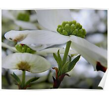 Dogwood Blooms     ^ Poster