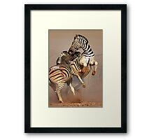 Zebras fighting Framed Print