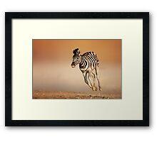 Baby zebra running Framed Print