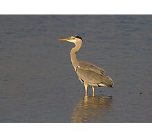 Grey Heron Pose.. Photographic Print