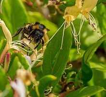 Yet Another Bumble Bee on the Honeysuckle by Mark Bangert