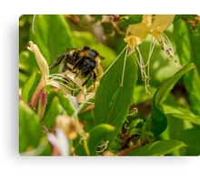 Yet Another Bumble Bee on the Honeysuckle Canvas Print