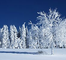 The Snow Paradise Fir Trees by Imi Koetz