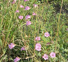 Purple Gerardia Survives Drought by Navigator