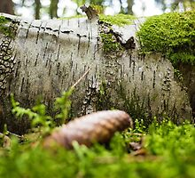 birch with moss by novopics