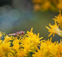 Hoverfly Profile by David Lamb