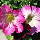 Pink and Red Petunias by kathrynsgallery