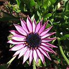 Little Bundle of Sunshine - Sunlit Cape Daisy by kathrynsgallery