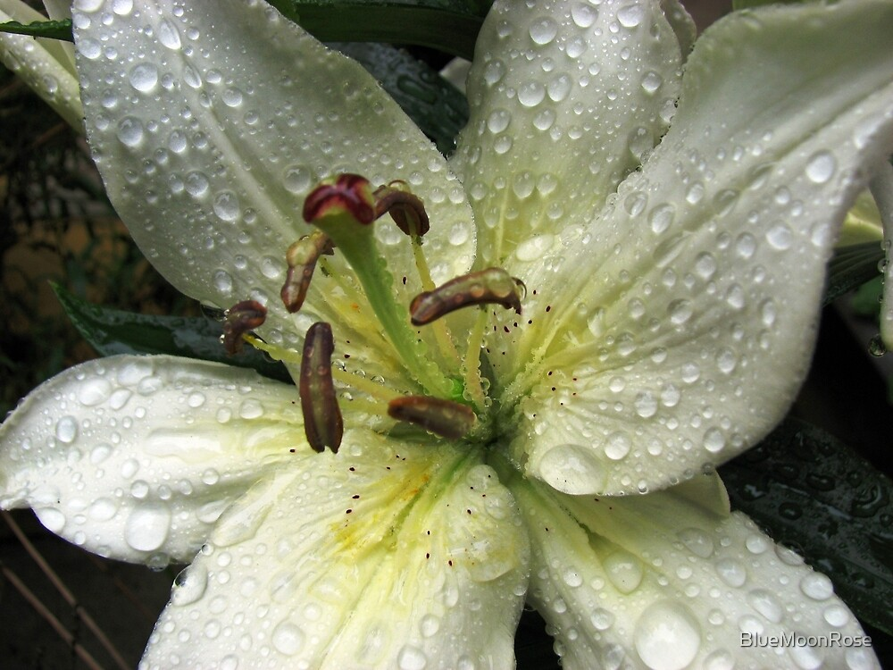 Sprarkling Raindrop Jewels On Beautiful Lily by BlueMoonRose