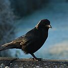 A carrion crow came calling by missmoneypenny
