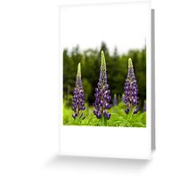 Trio of Lupins Greeting Card