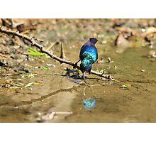 White Belly Sunbird - Beautiful Blue  Photographic Print