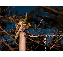 Tawny on a Post Photographic Print