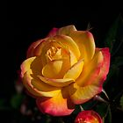 Pink-Edged Yellow Rose by SBNature