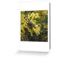 Silvereye on Wattle Greeting Card