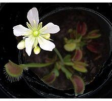 Venus Flytrap Flower Photographic Print
