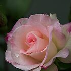 Pale pink rose Leith Park Victoria 20161017 7649 by Fred Mitchell