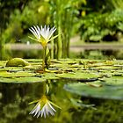 Water lily by waelredbubble