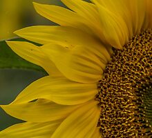 Macro Sunflower by Pixie Copley LRPS