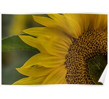 Macro Sunflower Poster