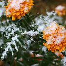 First snow on yellow flowers by mrivserg