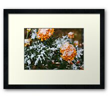 First snow on yellow flowers Framed Print