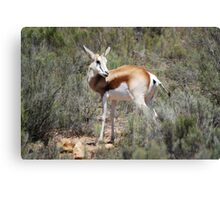 Springbok in the brush Canvas Print