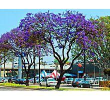 Southern California Purple Jacaranda Tree Photographic Print