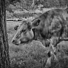 Swiss Cow by anorth7