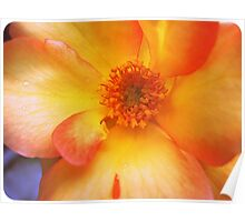 Peach and Yellow Rose Poster