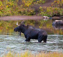 Fall male moose by Luann wilslef