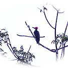 """THE REAL """"WOODY THE WOODPECKER"""" by NICK COBURN PHILLIPS"""