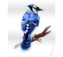 Watercolor blue jay  Poster