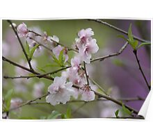 Blossoms at Spring Bluff Poster