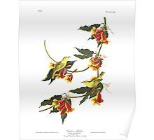 Yellow Warbler - John James Audubon Poster
