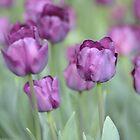 Purple Field by Jessica Fittock