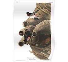 Cliff Swallow - John James Audubon Poster