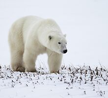 Polar Bear On The Prowl. Churchill, Canada by Carole-Anne