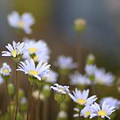 Blue Daisies by Jessica Fittock