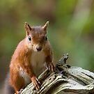 Red Squirrel on Old Tree by Sue Robinson